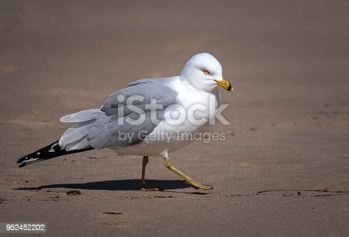 Female seagull posing and parading on the sand like a model