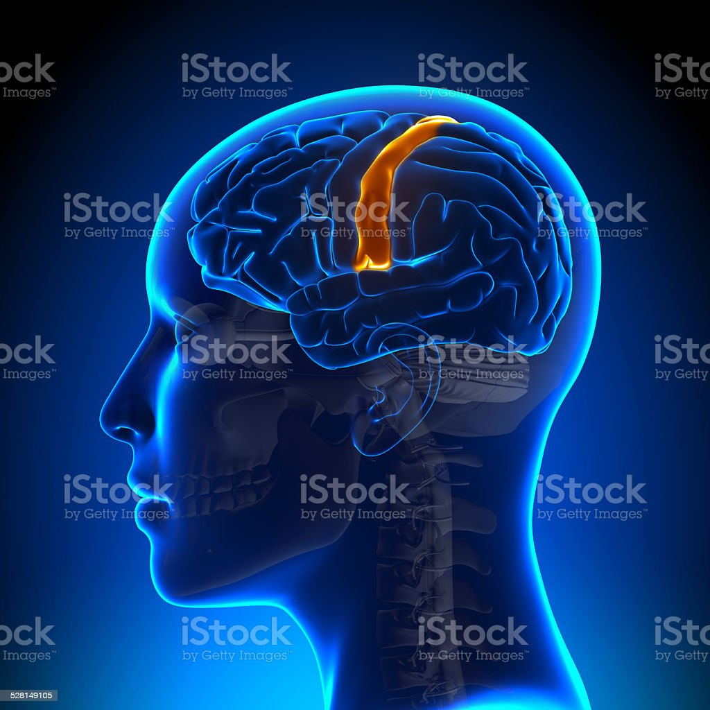Female Sensorimotor Area - Anatomy Brain stock photo