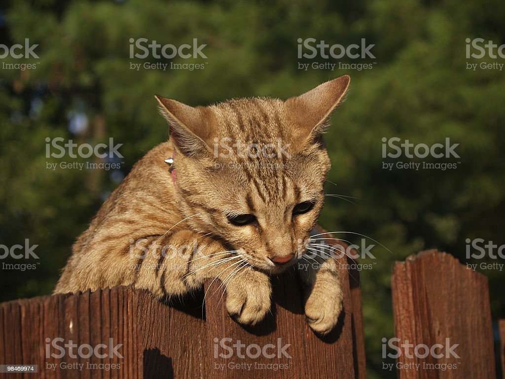 Female Serval Savannah Cat royalty-free stock photo