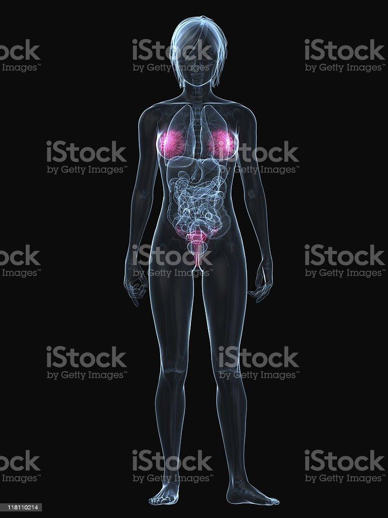 Weibliche Sexuelle Organe Stock-Fotografie und mehr Bilder von ...