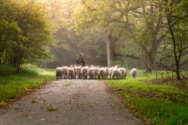 Female Shepherd and flock of sheep at a foggy sunrise in the woods Female Shepherd and flock of sheep at a foggy sunrise in the woods flock of sheep stock pictures, royalty-free photos & images
