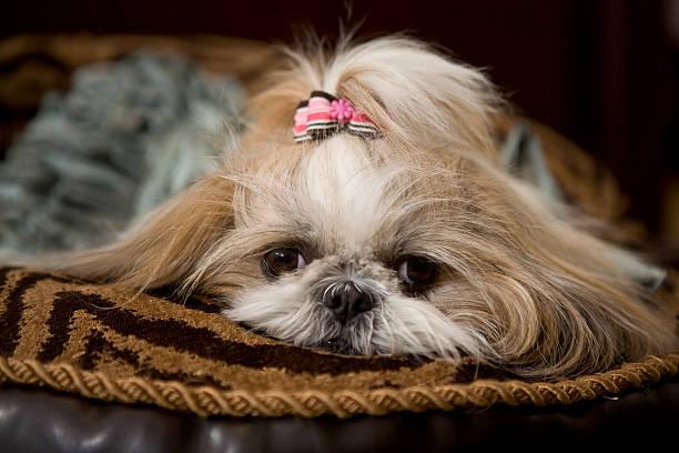 Female Shih Tzu Dog Close Up stock photo