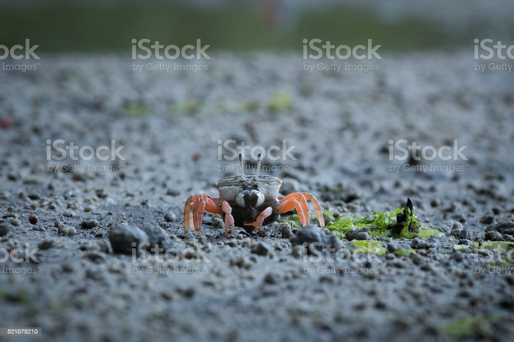 Female shore fiddler crab alone on the beach stock photo