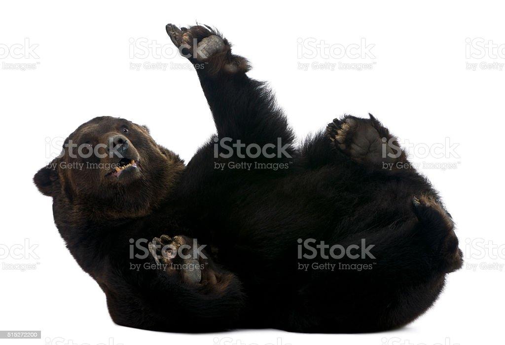 Female Siberian bear, 12 years old, lying stock photo