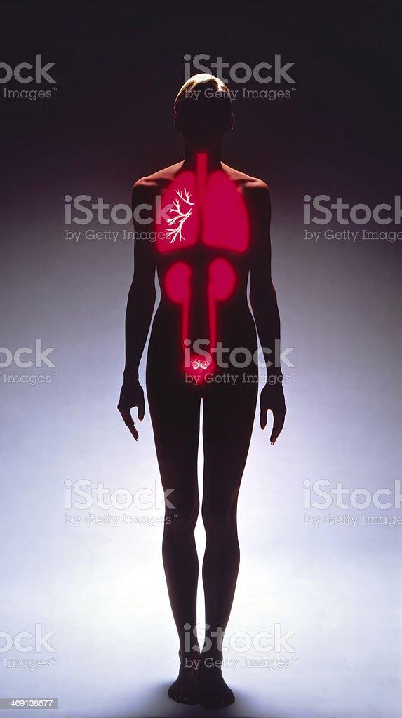 Weibliche Silhouette Zeigt Inneren Organe In Rot Stockfoto 469138677 ...