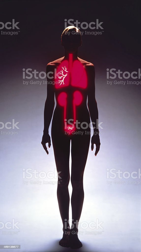 Female Silhouette Showing Internal Organs in Red stock photo