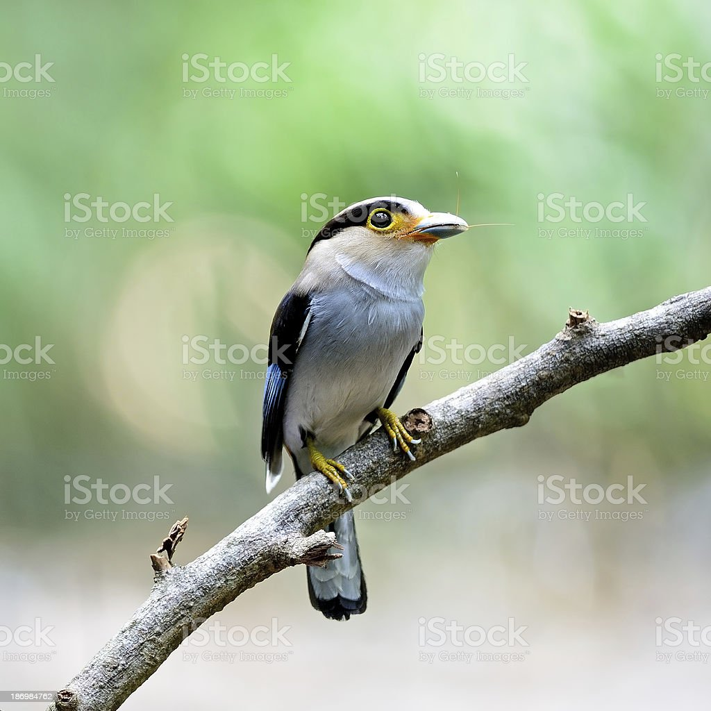 female Silver-breasted Broadbill royalty-free stock photo