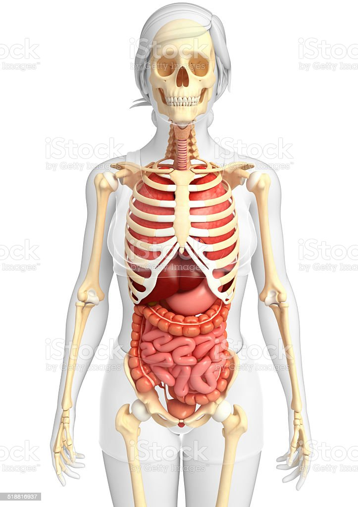 Female Skeleton And Digestive System Stock Photo More Pictures Of