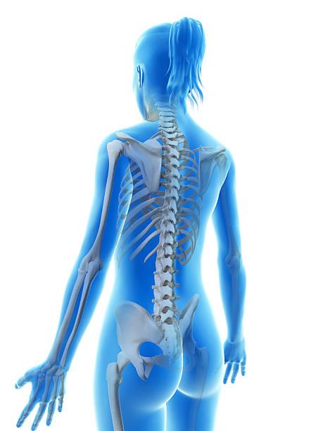 squelette de femme-dos - sternum photos et images de collection