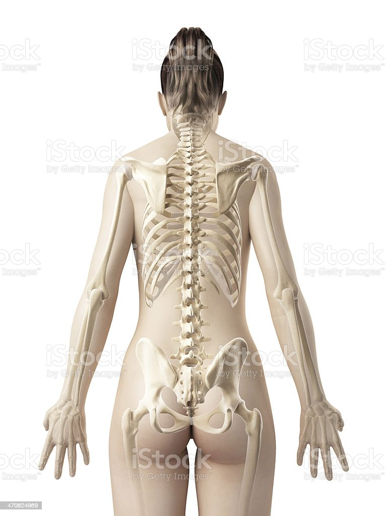 picture of the human anatomy female skeleton back stock photo more pictures of 5880
