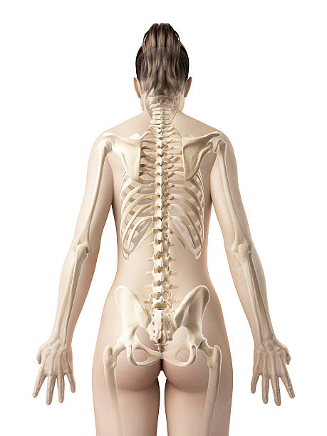 female skeleton - back stock photo