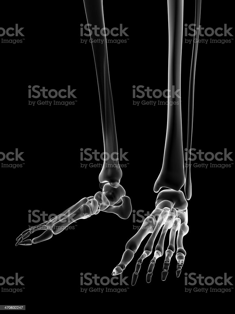 Female Skeleton Foot Stock Photo & More Pictures of Anatomy | iStock
