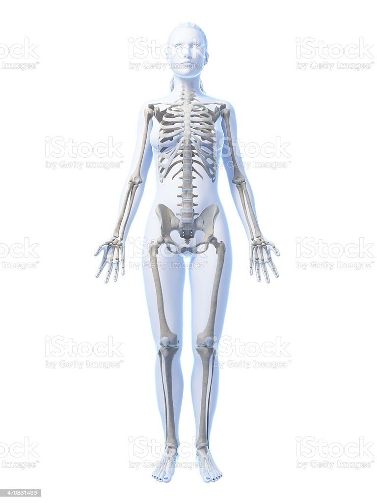 Female Skeleton Full Body Stock Photo More Pictures Of Anatomy