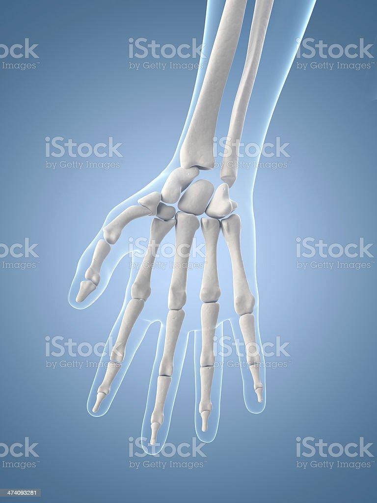 Рука Пальчик Ногтей Женский, руки, фотография, люди, руки png ... | 1024x768