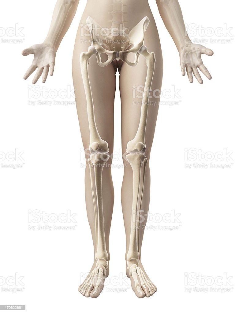 Female Skeleton Legs Stock Photo More Pictures Of Anatomy Istock