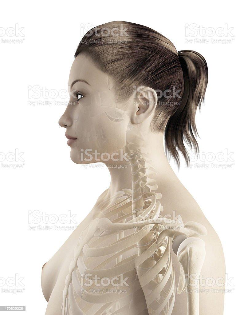 Female Skeleton Neck Stock Photo More Pictures Of Anatomy Istock