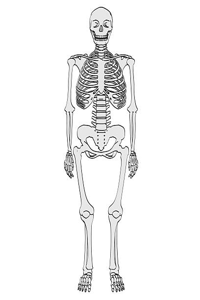 Top 60 Cartoon Of A Female Skeletal System Stock Photos Pictures