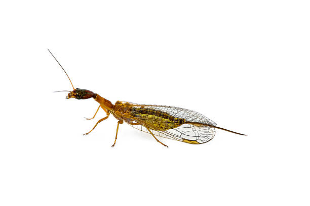 Weibliche Snakefly, Familie Raphidiidae, Genus Agulla – Foto