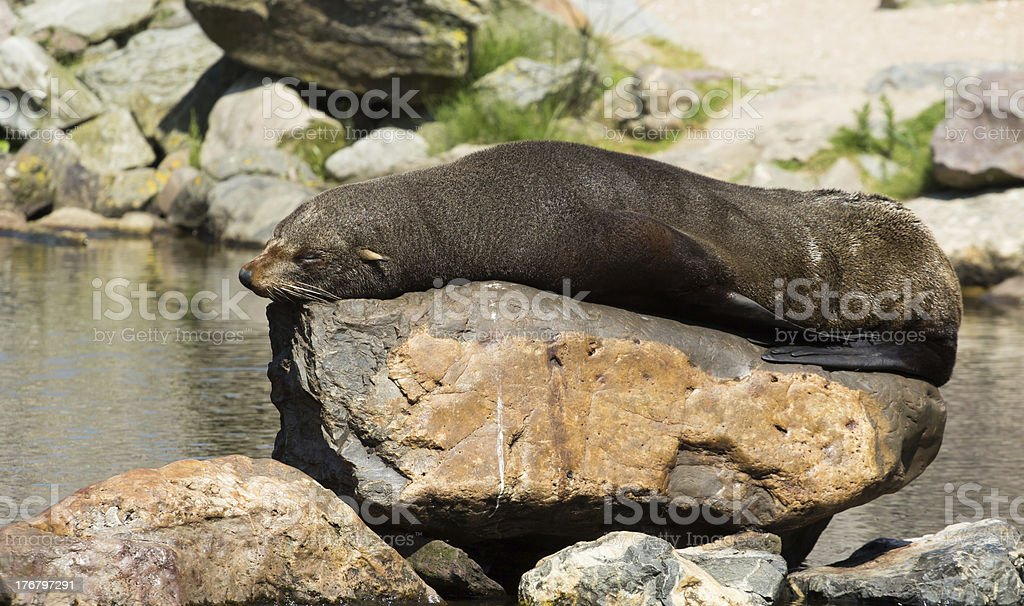 female South American Fur Seal resting stock photo