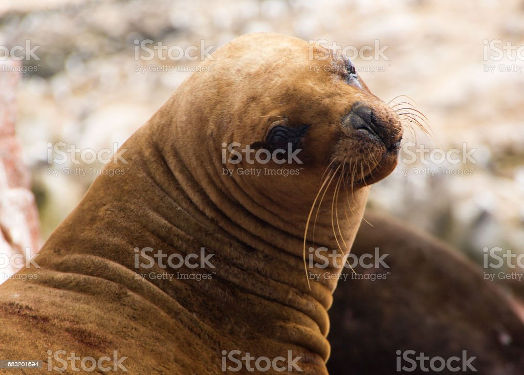 Female South American sea lion closeup stock photo