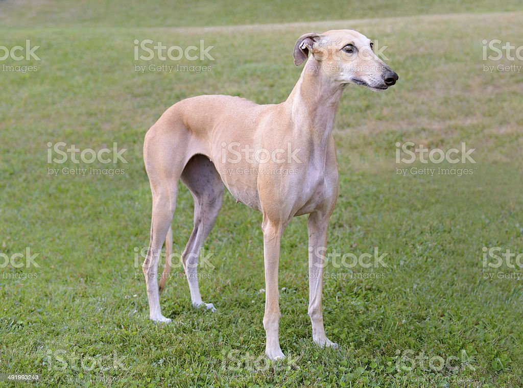 Female Spanish Galgo dog stock photo