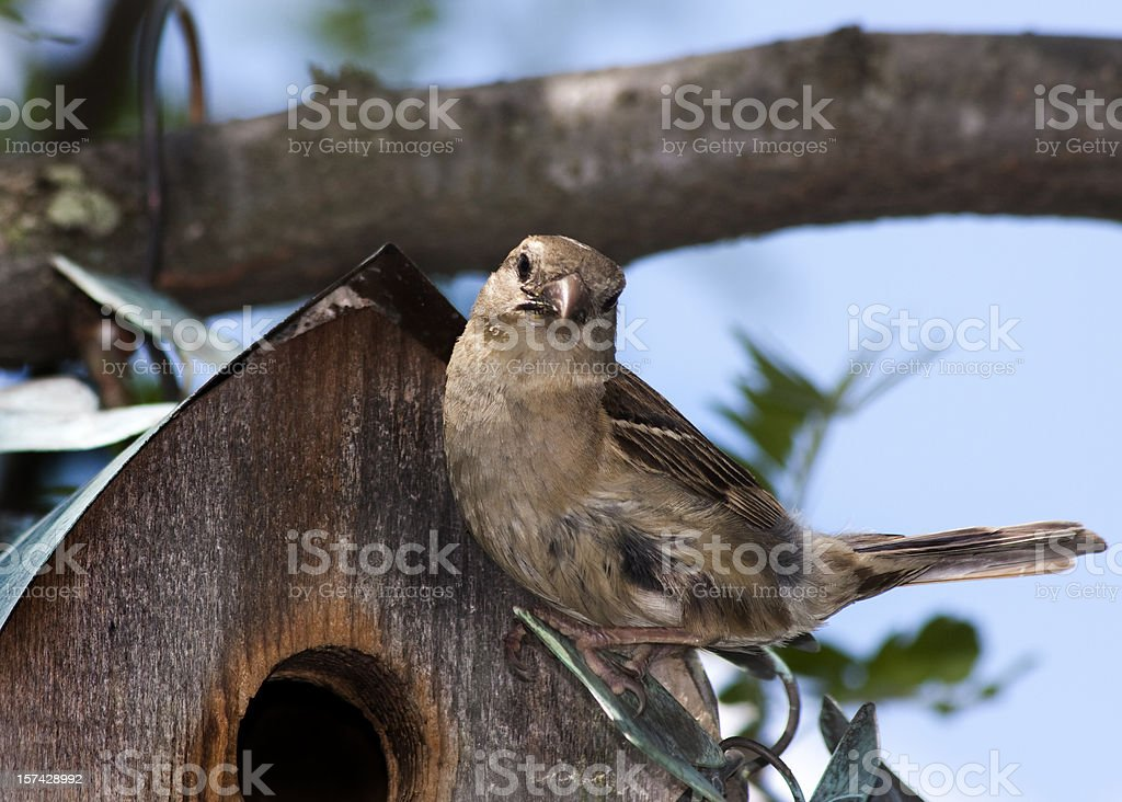 Female Sparrow At A Bird House royalty-free stock photo
