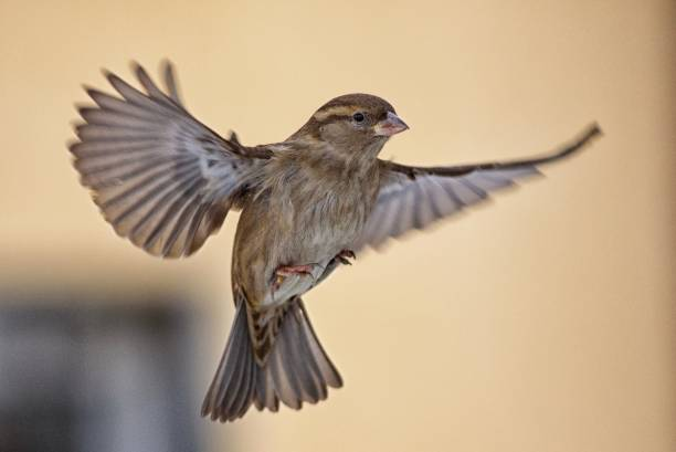 Female Sparrow in flight stock photo