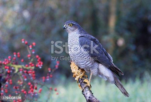 istock female sparrowhawk (Accipietr nisus) 1294008128
