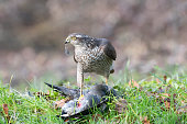 female Sparrowhawk that preyed on a moorhen