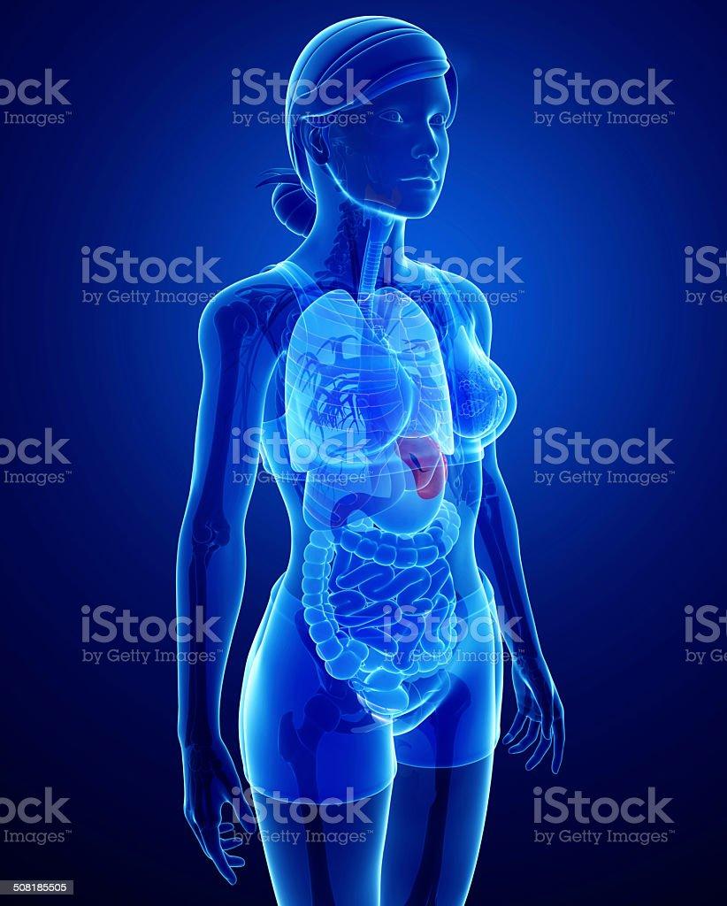 Female Spleen Anatomy Stock Photo More Pictures Of Abdomen Istock