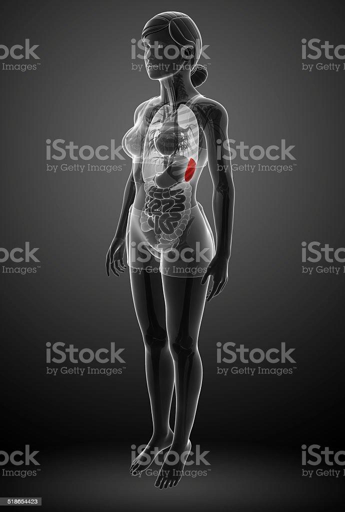 Female spleen anatomy stock photo