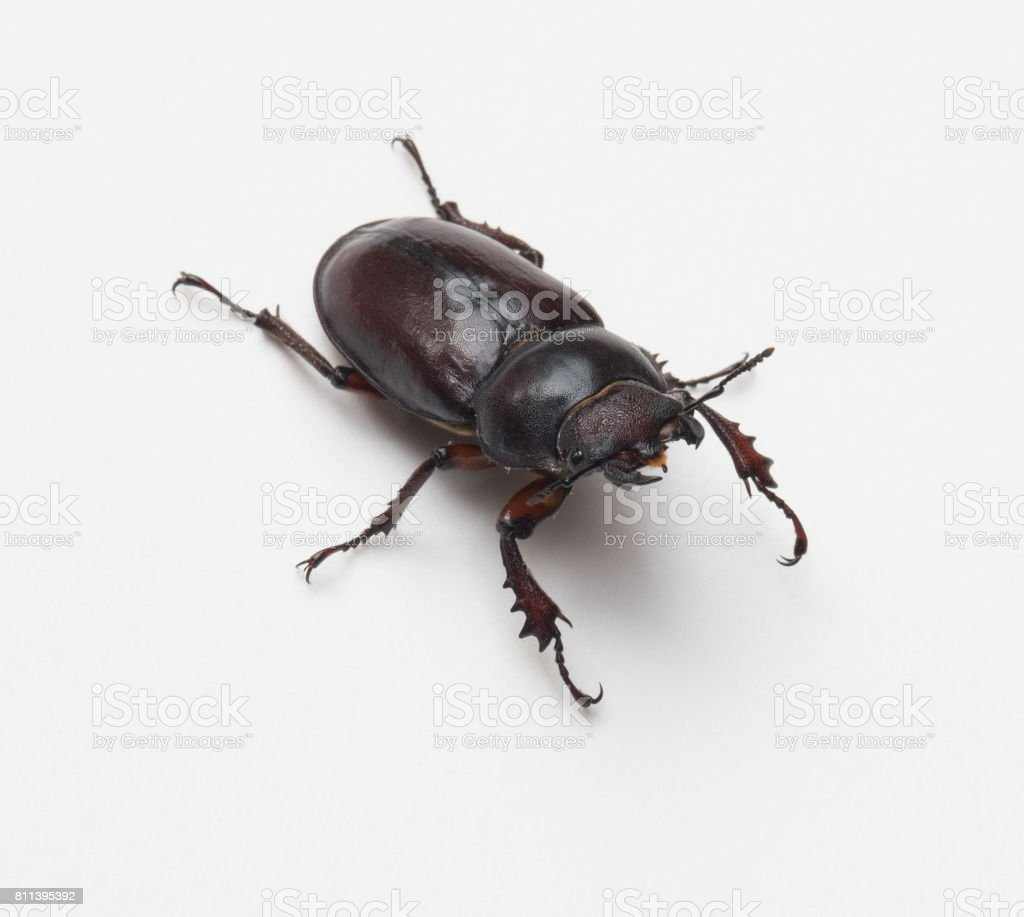 Female Stag Beetle, Front View stock photo