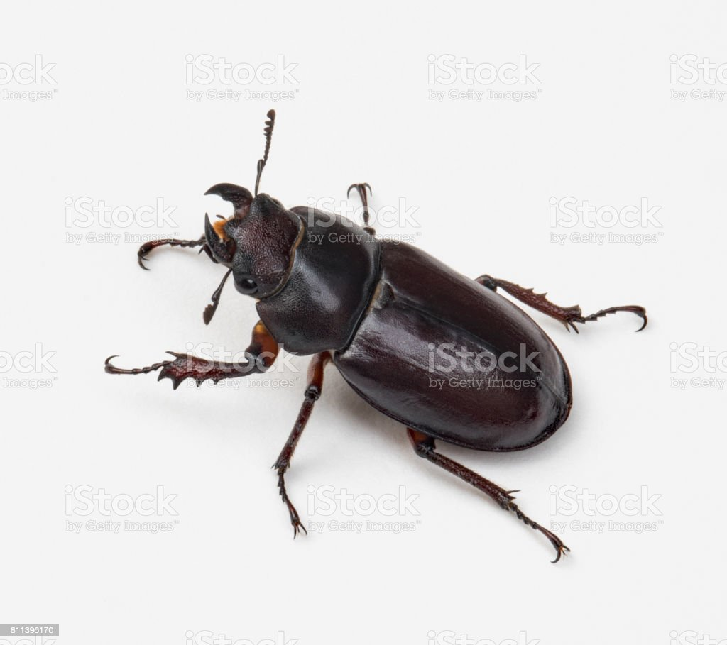 Female Stag Beetle, Left Side stock photo