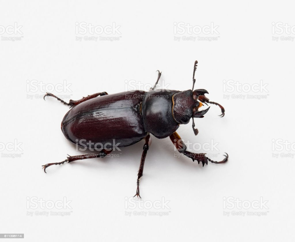 Female Stag Beetle, Right Side stock photo