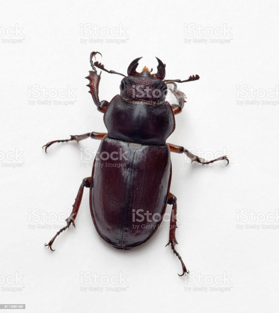 Female Stag Beetle, Top View stock photo