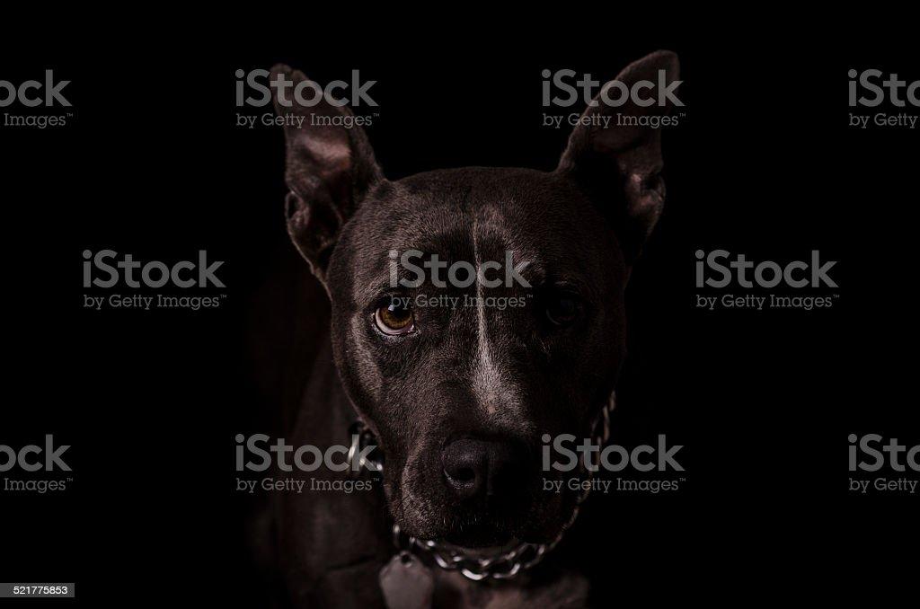 Female Standford Terrier Black Background