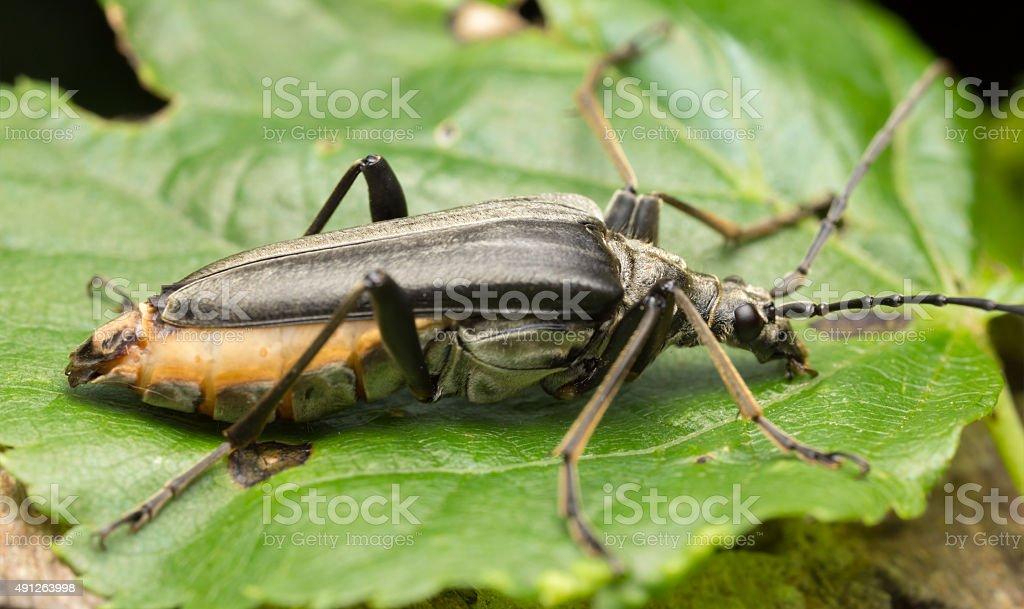 Female Stenocorus meridianus on leaf stock photo