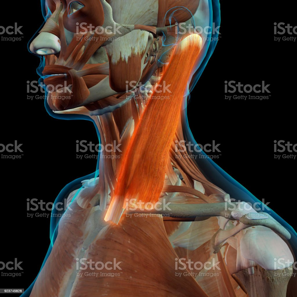 Female Sternocleidomastoid Neck Muscle Stock Photo & More Pictures ...