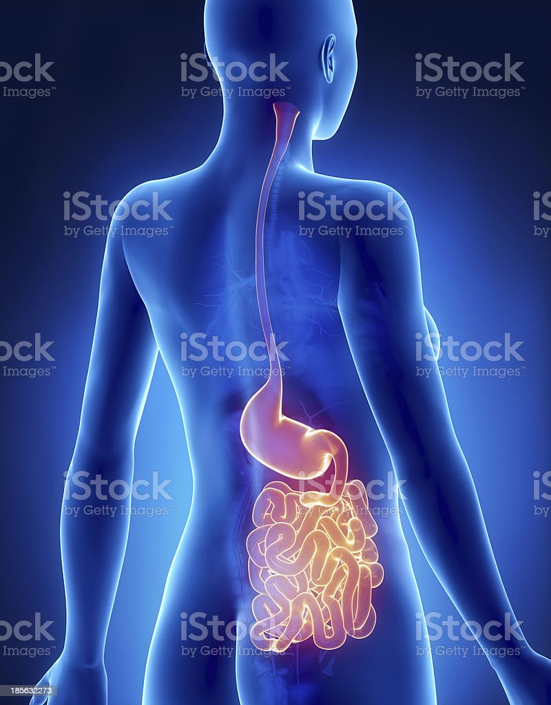 Female Stomach And Intestine Anatomy Xray Posterior View Stock Photo