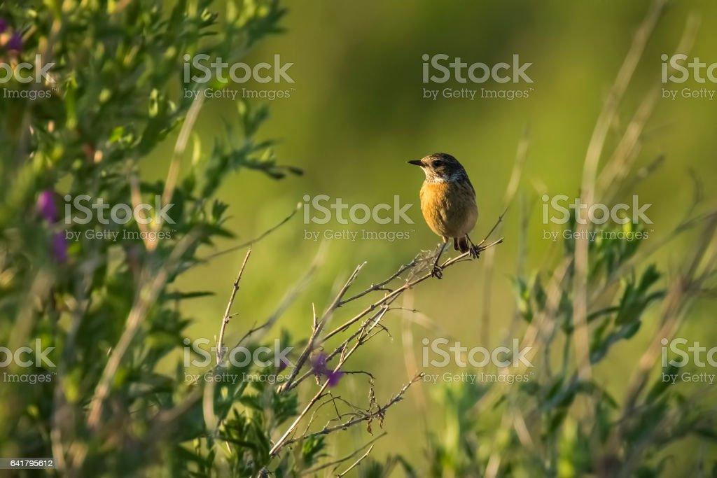 Female Stonechat bird, Saxicola rubicola stock photo
