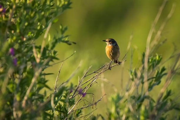 Femme oiseau Tarier, Saxicola rubicola - Photo