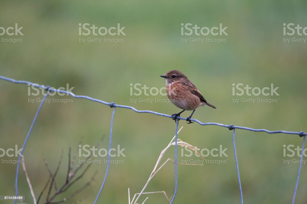Female stonechat on barbed wire fence stock photo
