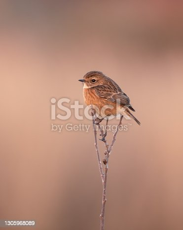 istock Female Stonechat Perched on Top of a Twig 1305968089