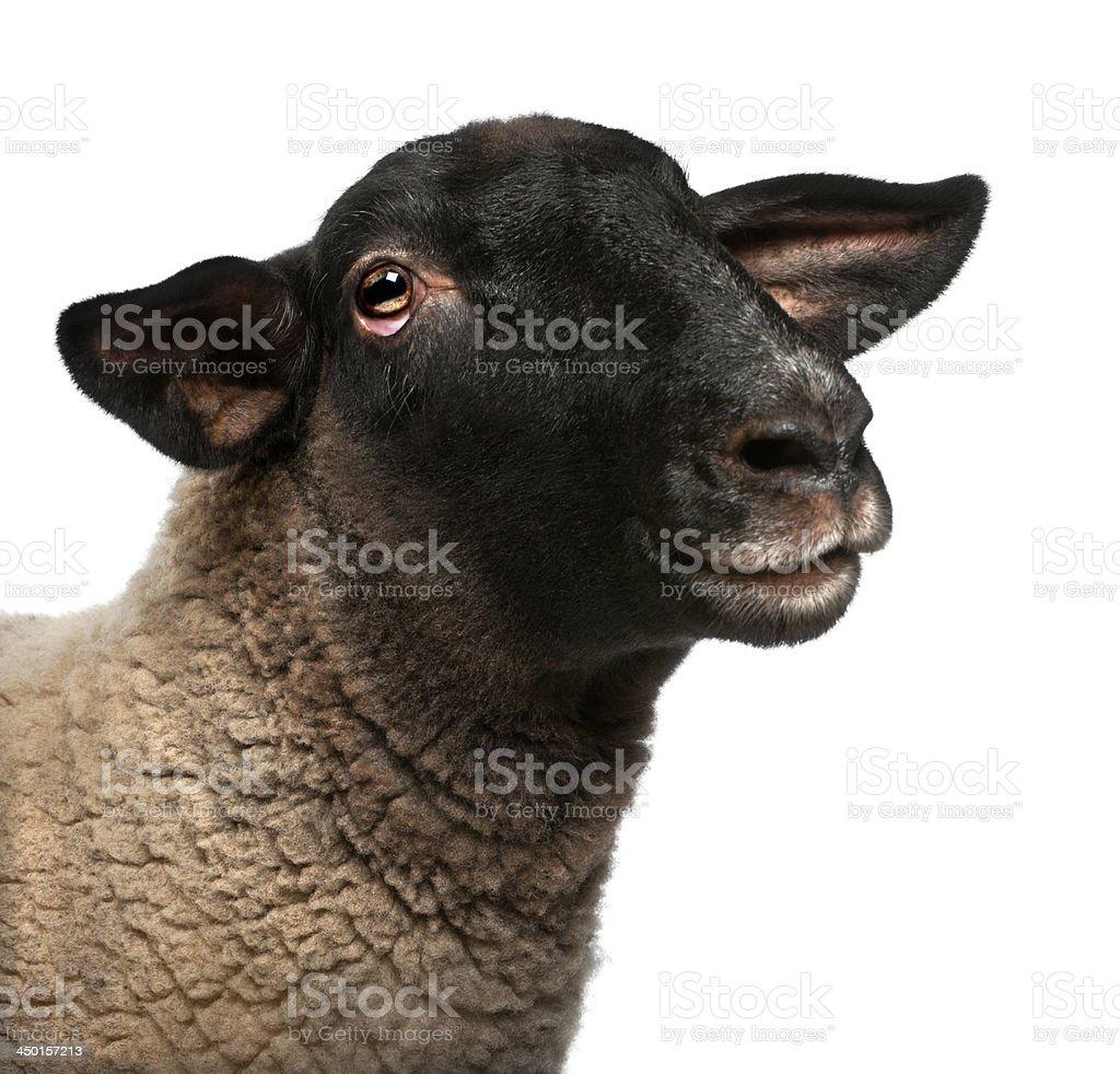 Femme Suffolk moutons, Ovis Signe du bélier, 2 ans - Photo