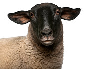 Female Suffolk sheep, Ovis aries, 2 years old, portrait in front of white background