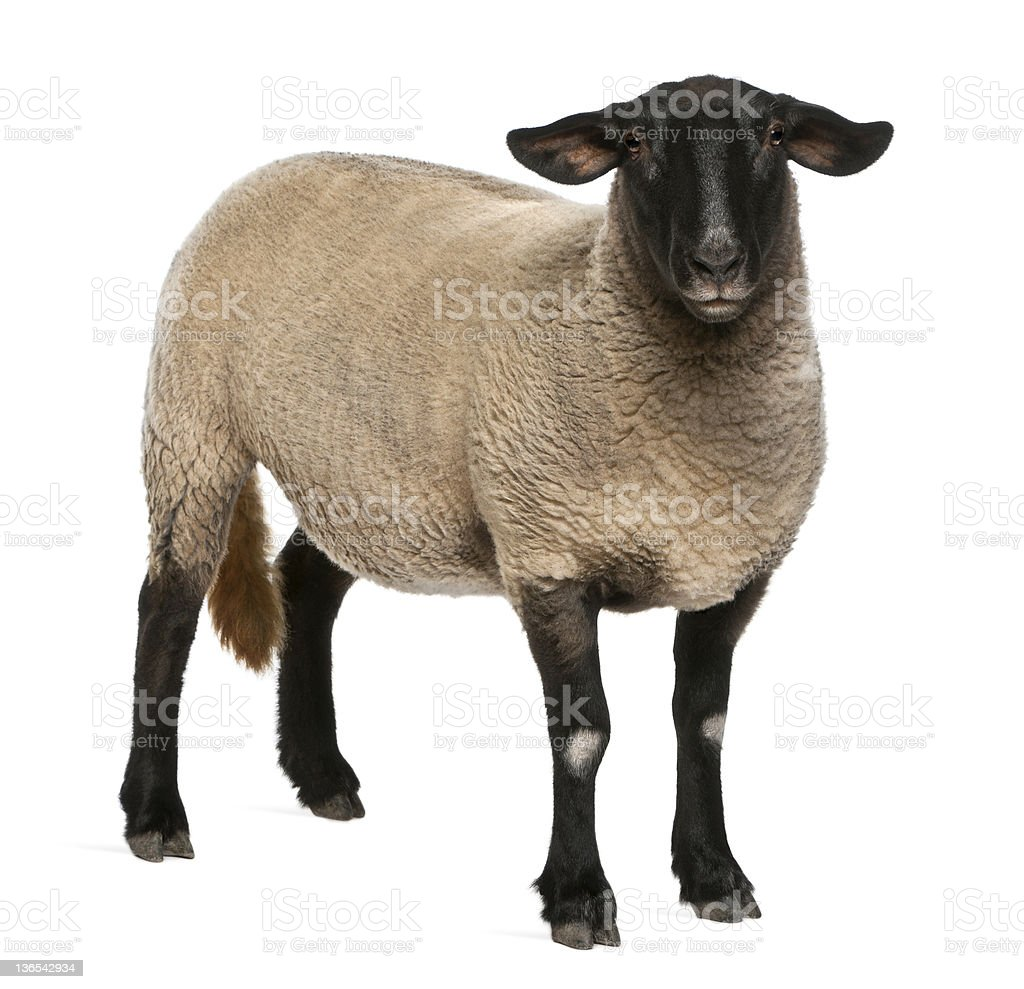 Female Suffolk sheep, Ovis aries, 2 years old, standing stock photo