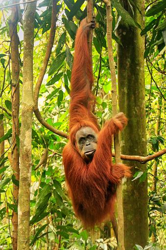 Closeup portrait of an orangutan female. — Stock Photo
