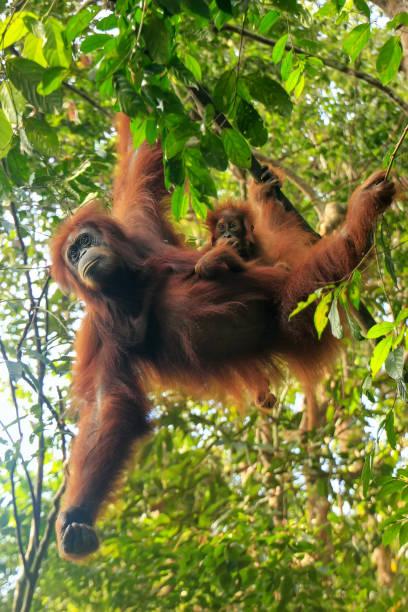 Weibliche Sumatran Orang-Utan mit einem Baby in den Bäumen hängen, Gunung Leuser Nationalpark, Sumatra, Indonesien – Foto