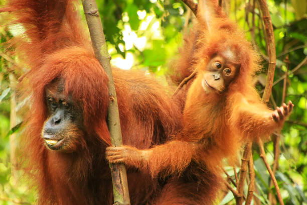 Female Sumatran orangutan with a baby sitting on a tree in Gunung Leuser National Park, Sumatra, Indonesia stock photo
