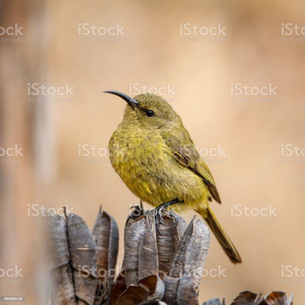 Female Sunbird royalty-free stock photo